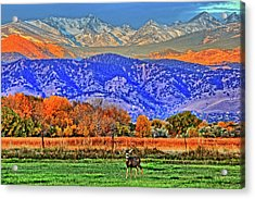 Acrylic Print featuring the photograph Rocky Mountain Deer by Scott Mahon