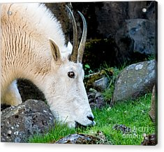Rocky Mountain Goat Busy Eating Acrylic Print