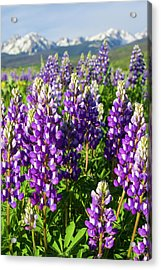 Rocky Mountain Lupines  Acrylic Print by Aaron Spong