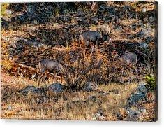 Rocky Mountain National Park Deer Colorado Acrylic Print