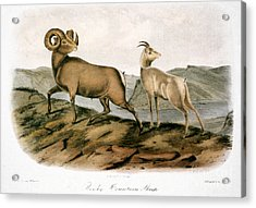 Rocky Mountain Sheep, 1846 Acrylic Print by Granger