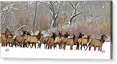 Rocky Mountain Winter Elk Acrylic Print