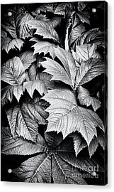 Rodgersia Podophylla Acrylic Print by Tim Gainey