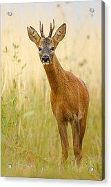 Roe Deer Buck Acrylic Print