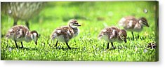 Acrylic Print featuring the photograph Rogue Duckling, Yanchep National Park by Dave Catley