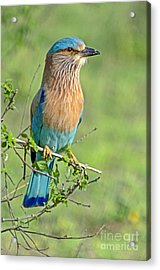 Roller Looking On Acrylic Print by Pravine Chester