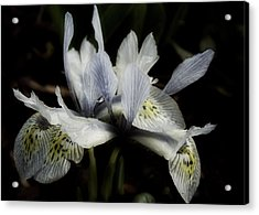Romantic Dwarf Iris Acrylic Print by Richard Cummings