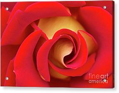 Romantic, Red Rose Yellow Pedals Acrylic Print