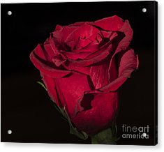 Romantic Rose Acrylic Print
