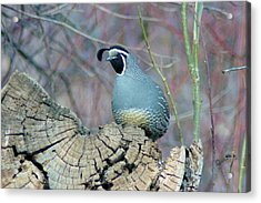 Rooster Quail  Acrylic Print by Jeff Swan