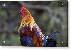 Rooster Rooster Acrylic Print by Mike  Dawson