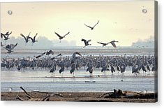 Roosting On The Platte Acrylic Print
