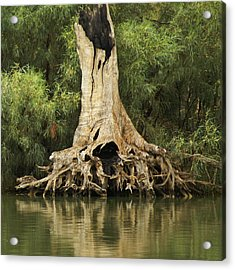 Roots Of Wisdom Acrylic Print by Holly Kempe