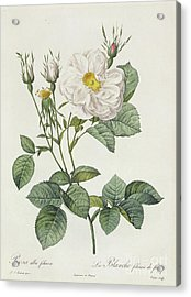 Rosa Alba Foliacea Acrylic Print by Pierre Joseph Redoute