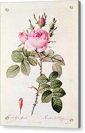Rosa Bifera Officinalis Acrylic Print by Pierre Joseph Redoute