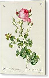 Rosa Centifolia Bipinnata Acrylic Print by Pierre Joseph Redoute