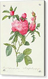 Rosa Centifolia Prolifera Foliacea Acrylic Print