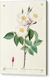 Rosa Damascena Subalba Acrylic Print