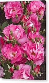 Rosa 'dancing Pink' Acrylic Print by Geoff Bryant