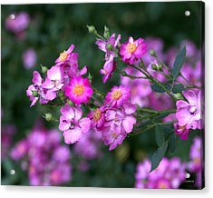 Acrylic Print featuring the photograph rosa 'Daydream' 1762 by Brian Gryphon