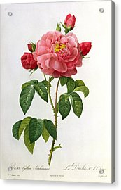 Rosa Gallica Aurelianensis Acrylic Print by Pierre Joseph Redoute