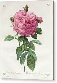 Rosa Gallica Flore Giganteo Acrylic Print