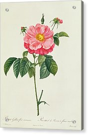 Rosa Gallica Flore Marmoreo Acrylic Print by Pierre Joseph Redoute