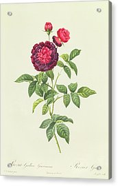 Rosa Gallica Gueriniana Acrylic Print