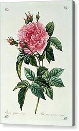 Rosa Gallica Regalis Acrylic Print by Pierre Joseph Redoute