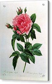 Rosa Gallica Regallis Acrylic Print by Pierre Joseph Redoute