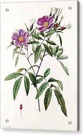 Rosa Hudsoniana Salicifolia Acrylic Print
