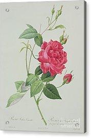 Rosa Indica Cruenta Acrylic Print