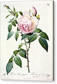 Rosa Indica Fragrans Acrylic Print by Pierre Joseph Redoute