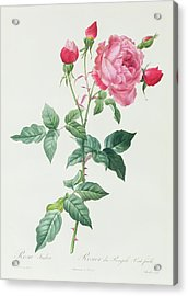 Rosa Indica Acrylic Print