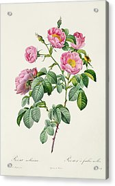 Rosa Mollissima Acrylic Print by Claude Antoine Thory