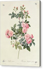 Rosa Multiflora Carnea Acrylic Print by Pierre Joseph Redoute