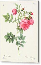 Rosa Pimpinellifolia Flore Variegato  Acrylic Print
