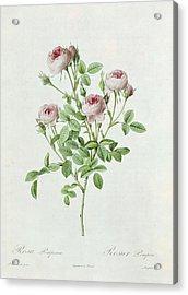 Rosa Pomponia Acrylic Print by Henri Joseph Redoute