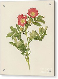 Rosa Pratincola Acrylic Print