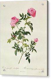 Rosa Sepium Flore Submultiplici Acrylic Print