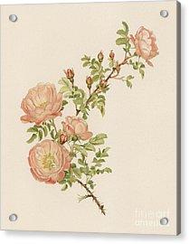 Rosa Spinosissima Var Andrewsii Acrylic Print