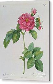 Rosa Turbinata Acrylic Print
