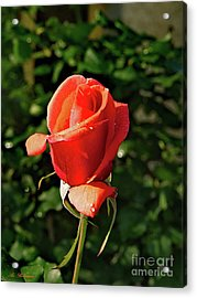 Rose 04 Acrylic Print by Arik Baltinester