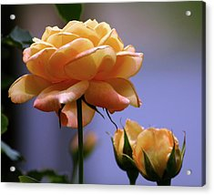 Rose 1156 H_2 Acrylic Print