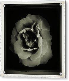 Rose 12 Acrylic Print
