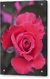 Rose 160 Acrylic Print by Pamela Cooper