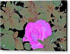 Rose 97 Acrylic Print by Pamela Cooper