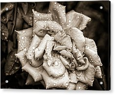 Rose After The Rain Acrylic Print