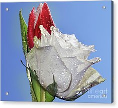 Acrylic Print featuring the photograph Rose And Tulip by Elvira Ladocki