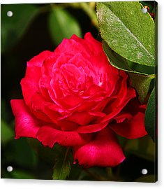 Rose Acrylic Print by Anthony Jones